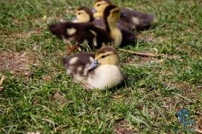 Babies-at-Kangaroo-Creek-Farms