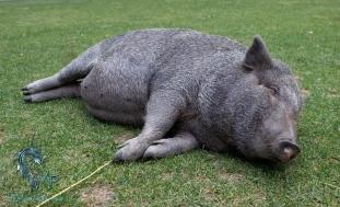 Pig-at-Kangaroo-Creek-Farms